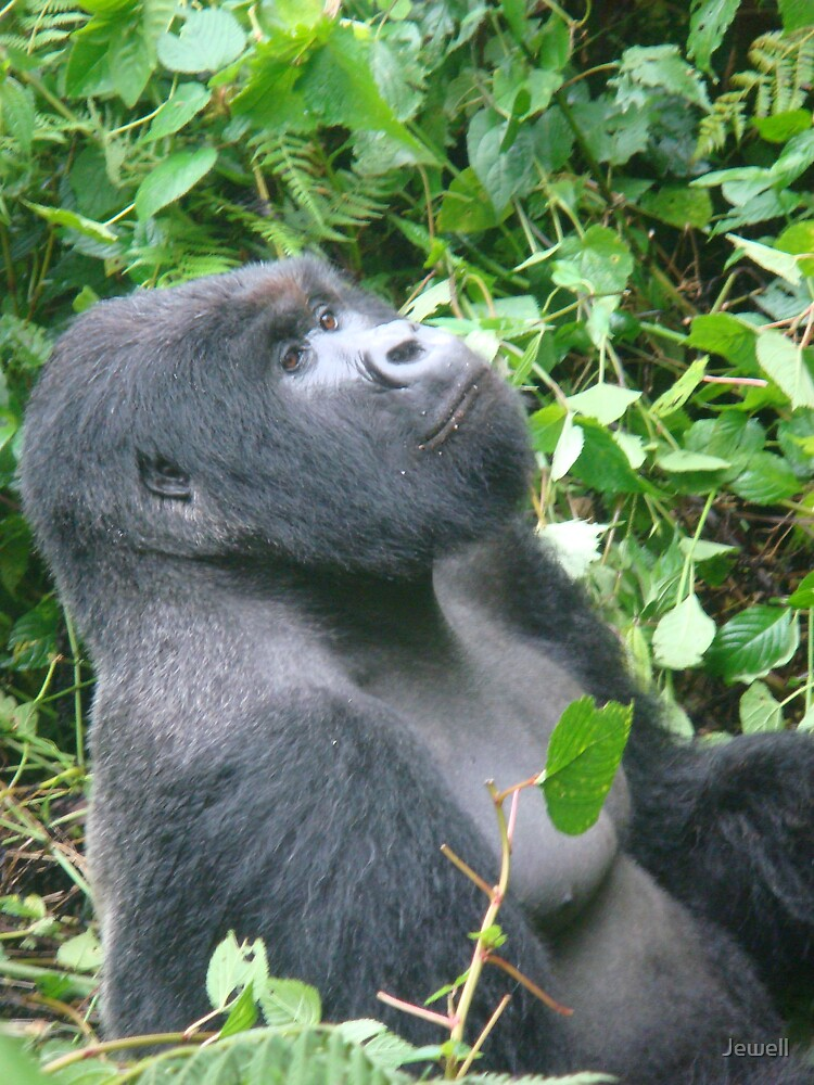 Male Silverback by Jewell