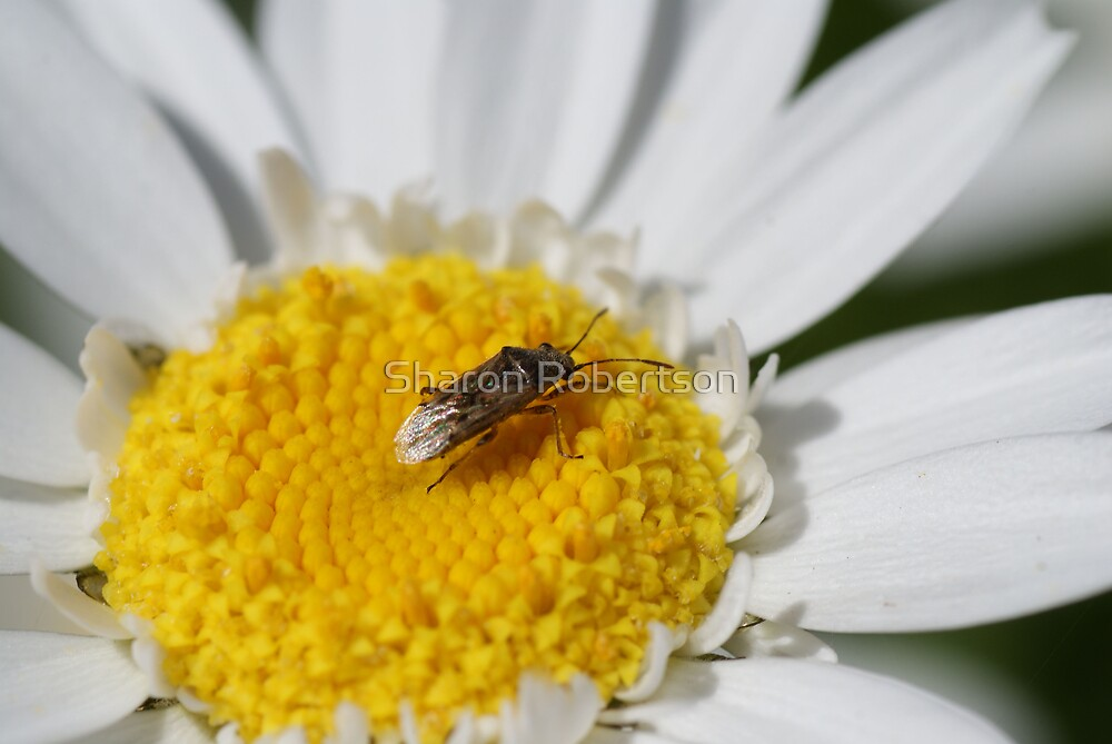 Buggin the Daisies by Sharon Robertson