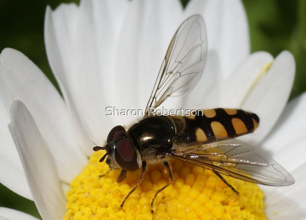 Daisy Fly by Sharon Robertson