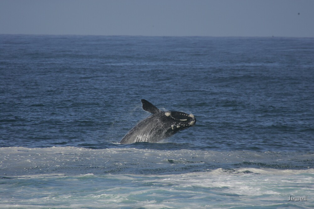 Breaching Humpback by Jewell