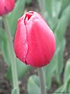 A red tulip after the morning rain. by Barberelli