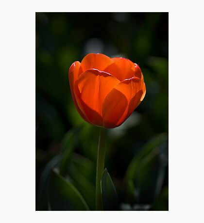 Red Tulip Photographic Print