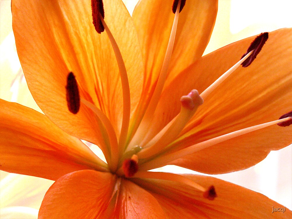 Oriental Lily by jacqi