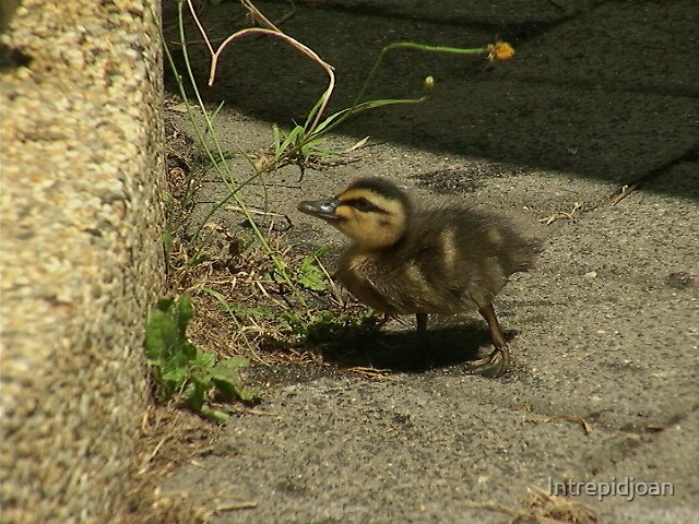 Duckling at home in my backyard by Intrepidjoan