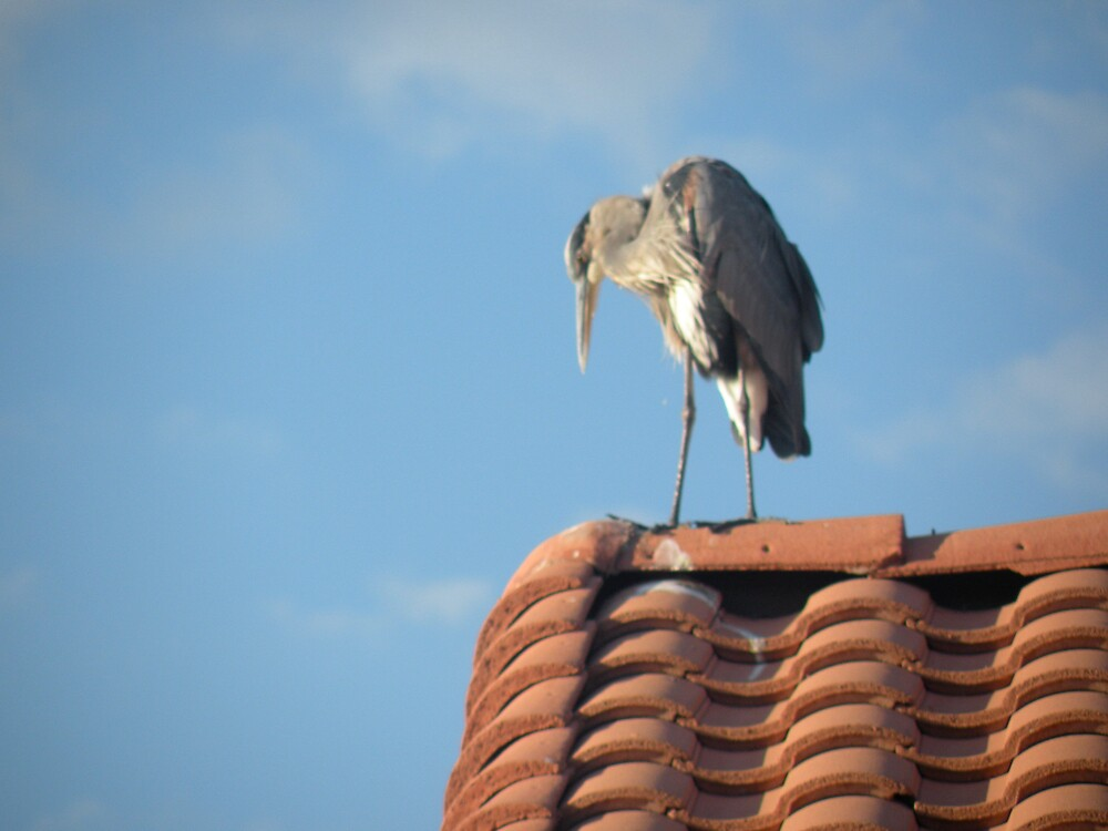 heron scoping the situation by Bonnie Pelton