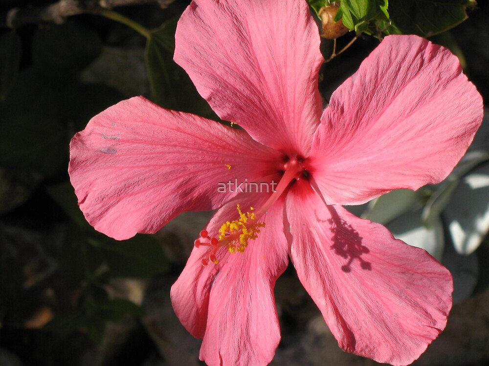 Pink Hibiscus by atkinnt