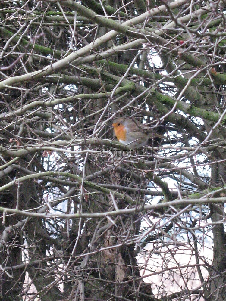 Robin Redbreast Bird by atkinnt