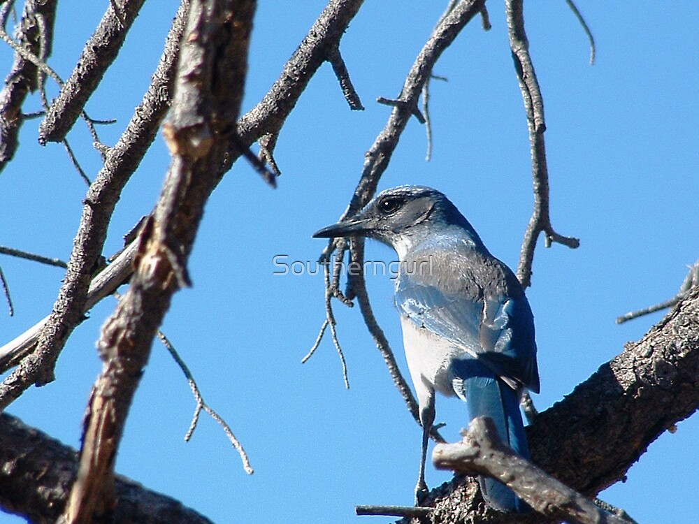 Pinyon Jay by Southerngurl