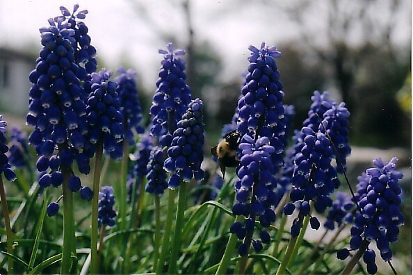Bee Happy Hyacinths by Blanche57