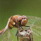 Closeup Dragonfly Head by kernuak
