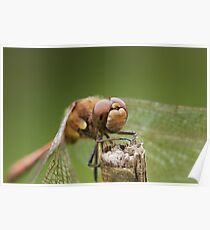 Closeup Dragonfly Head Poster