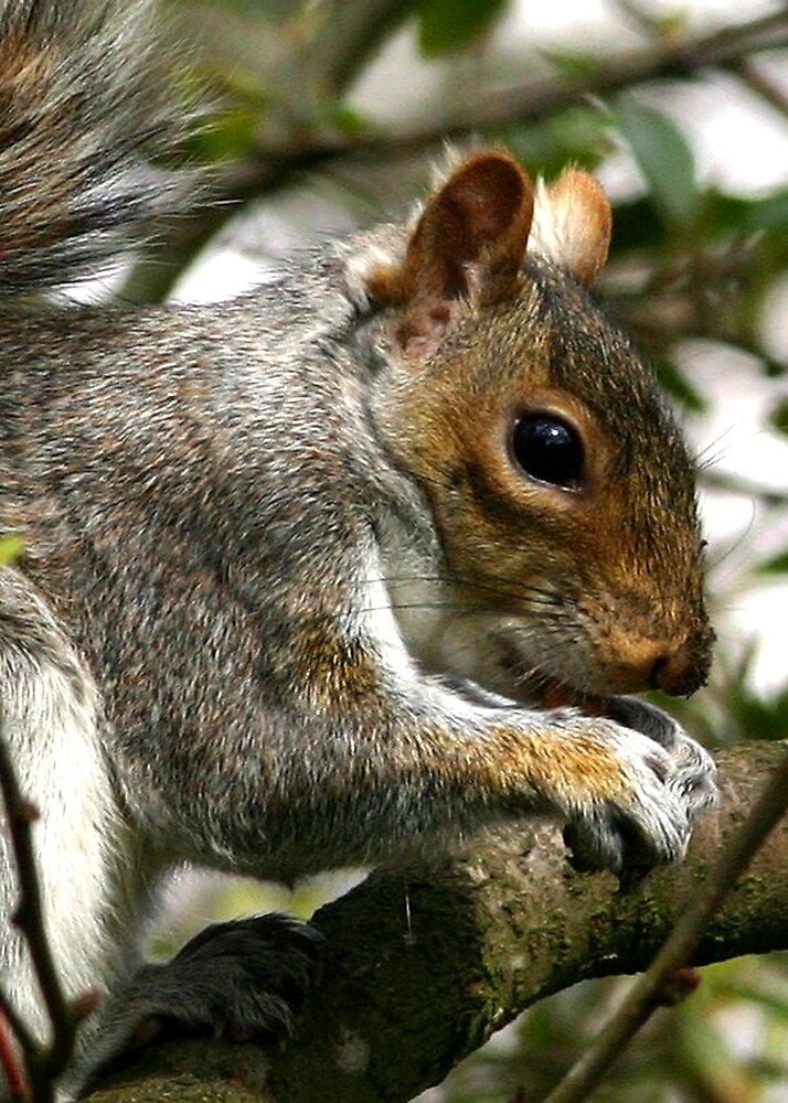 Grey Squirrel by dsargent