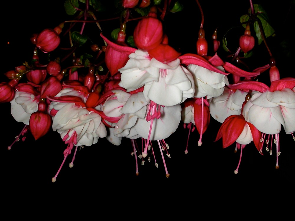 FUSCHIAS DANCING IN THE MOONLIGHT  by MsLiz
