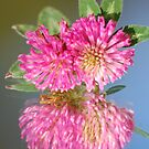 Red clover by julie08