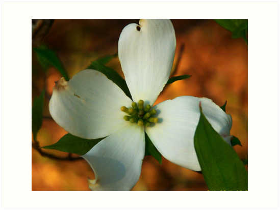 Dogwood by Lisa Taylor