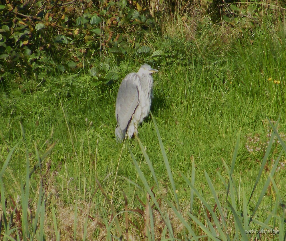 Heron by pat oubridge