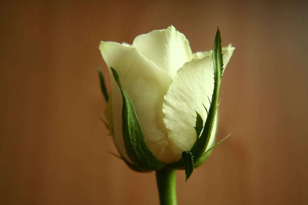 White Rose in Colour by Graham Ettridge