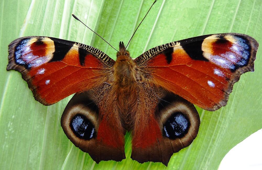 Peacock Butterfly by Braedene