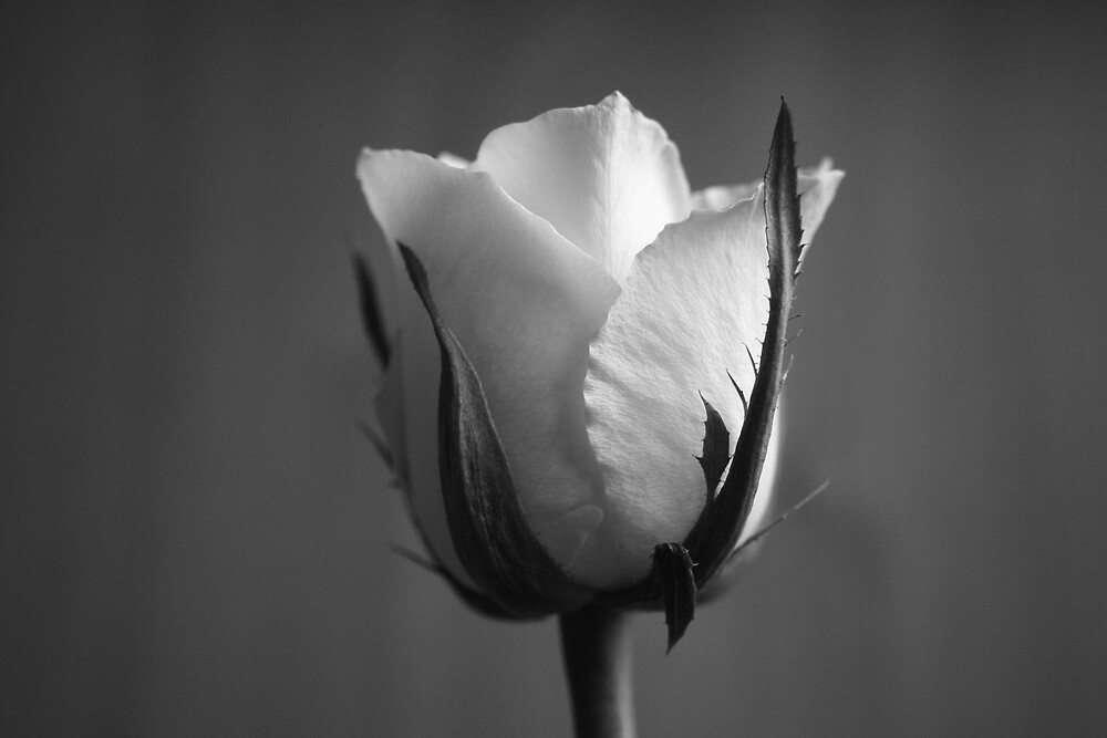 White Rose in Black and White by Graham Ettridge
