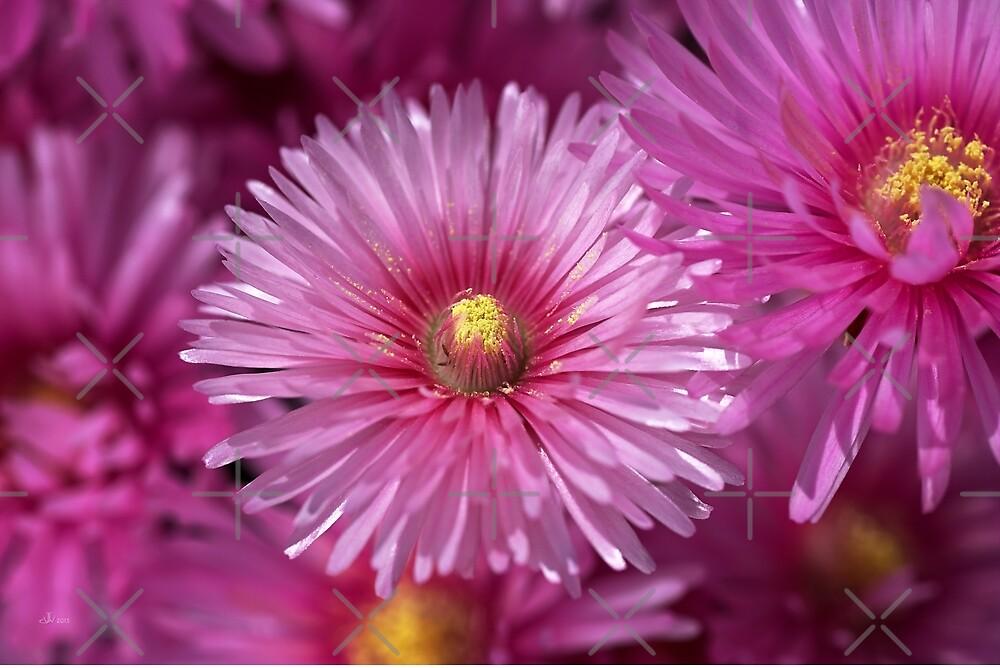 Pink Pigface Flowers by Joy Watson
