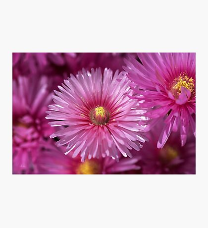 Pink Pigface Flowers Photographic Print