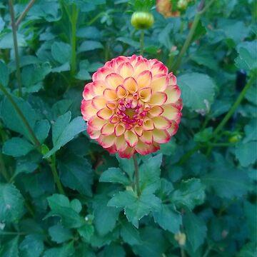 Orange & Yellow Dahlia by doodlequeen27