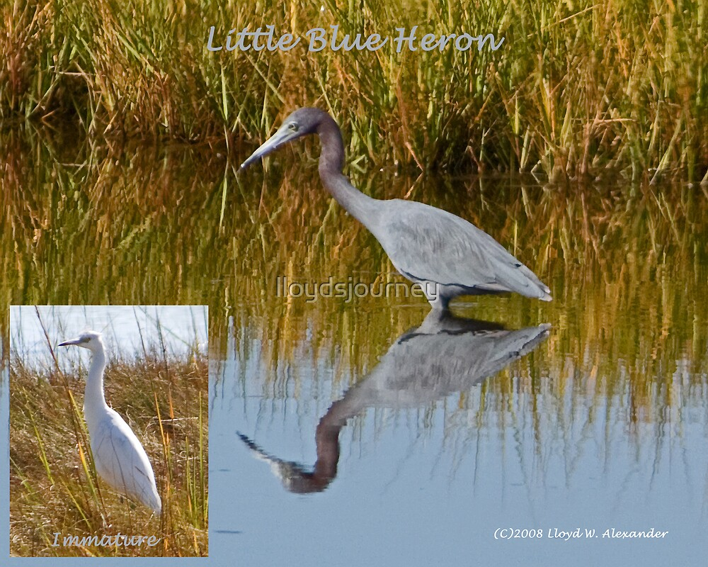 Little Blue Heron Collage by lloydsjourney