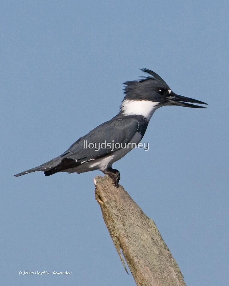 Female Belted Kingfisher by lloydsjourney