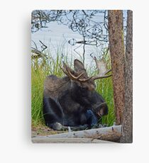 Bull Moose hanging out  Canvas Print