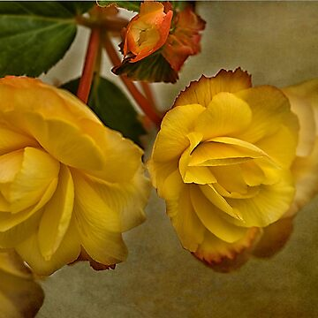 Yellow Begonias Vintage Effect by jacqi