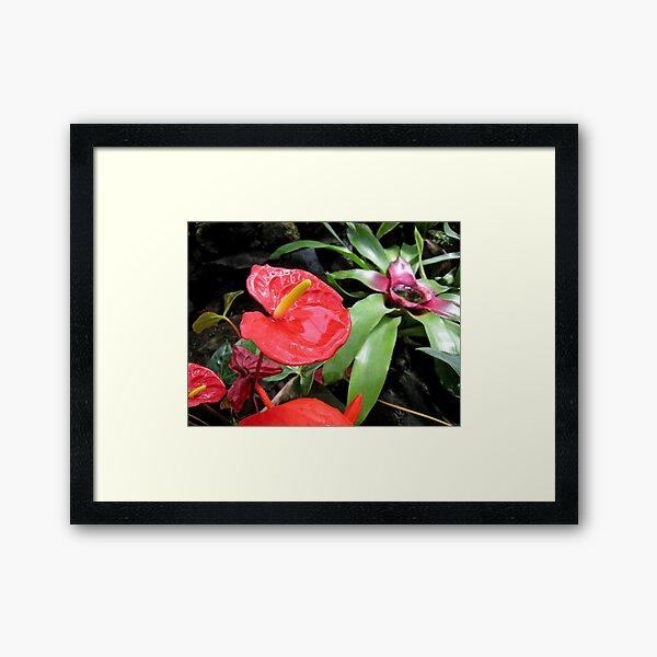 Red Anthurium Framed Art Print