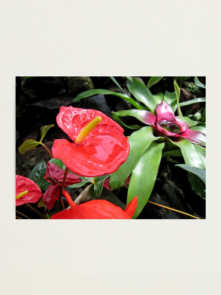 Alternate view of Red Anthurium Photographic Print