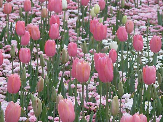 Field of Pink by judyA