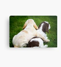 Orange and White and Brown Roan Italian Spinone Puppy Dogs Metal Print