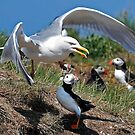 Predator V Puffins by Martin Lawrence