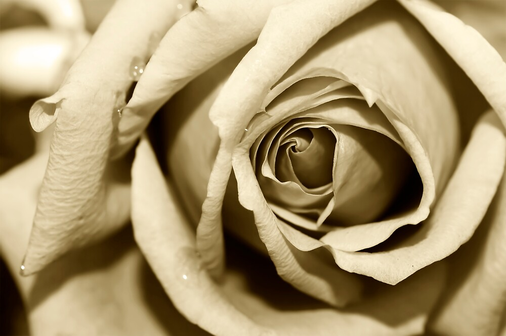 White Rose In Sepia by Jenni77