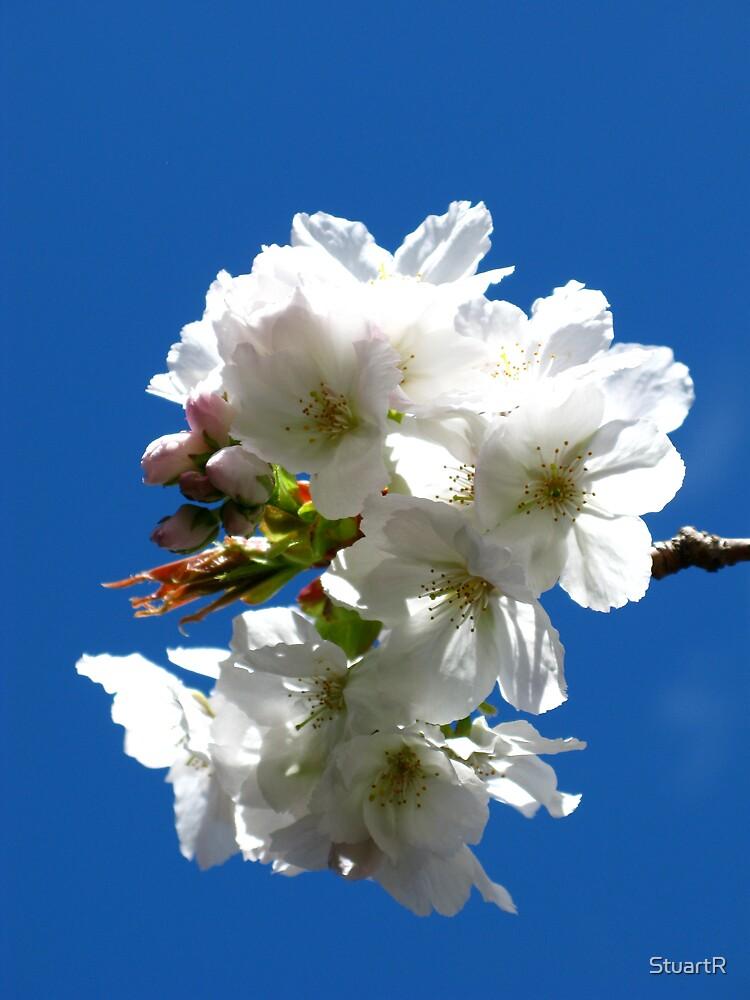 Cherry blossom by StuartR