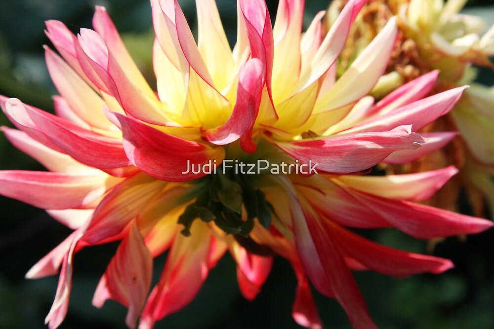 Dahlia Derriere by Judi FitzPatrick