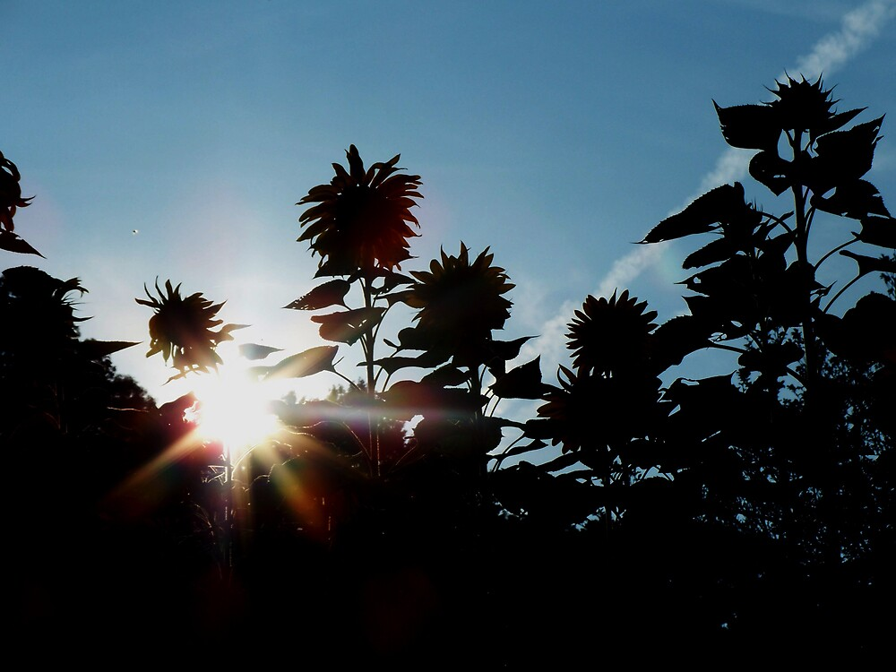 Sunflowers in the sunlight by Judi Taylor