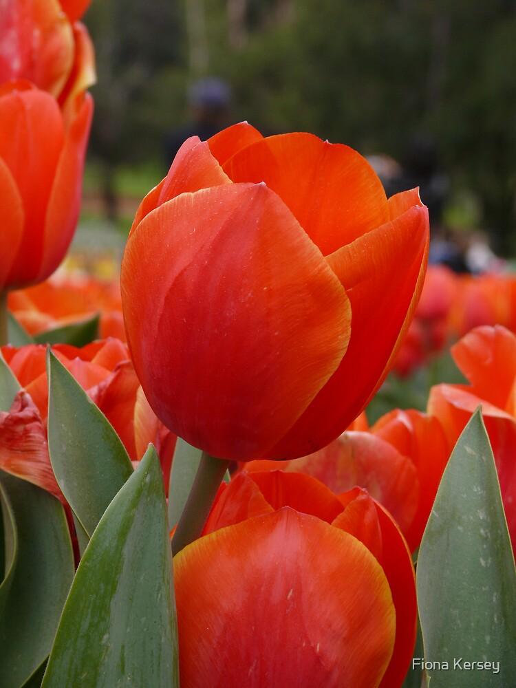 orange delight by Fiona Kersey