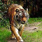 Tiger, tiger by Margaret Shark