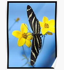 A zebra longwing butterfly, Heliconius charitonius, is sipping nectar from a flower Poster