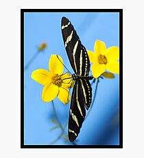A zebra longwing butterfly, Heliconius charitonius, is sipping nectar from a flower Photographic Print