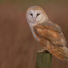 Barn Owl by Nat Titman