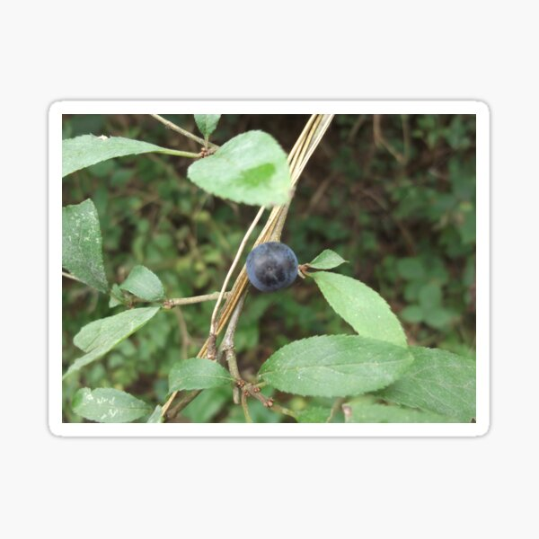 Ensor Pool Nuneaton Sloe Berry Black Thorn Sticker