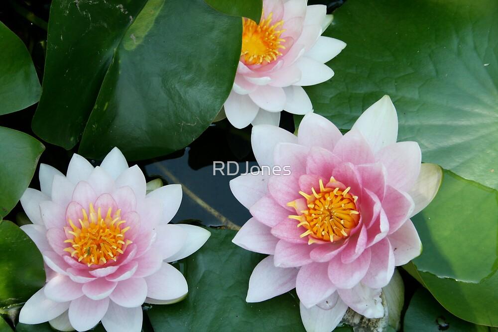 Lily by RDJones