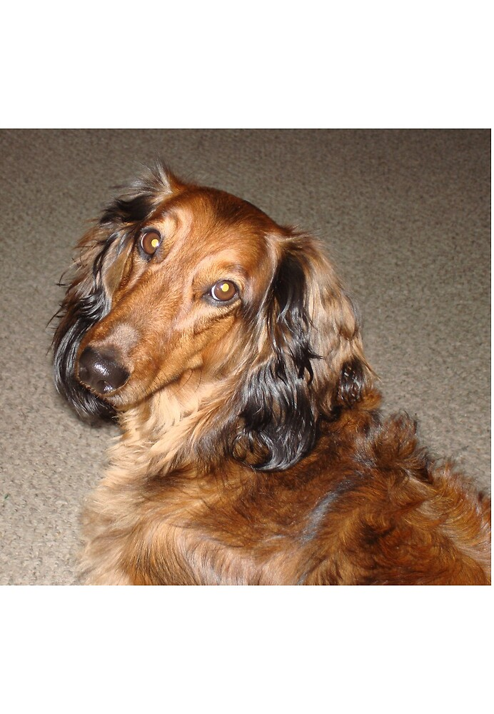 Long Haired Dachshund by tawaslake