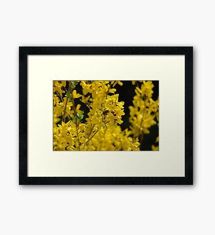 Forsythia - Pollen Time Framed Print