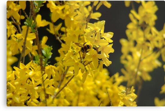 Forsythia - Pollen Time by Paul Gitto