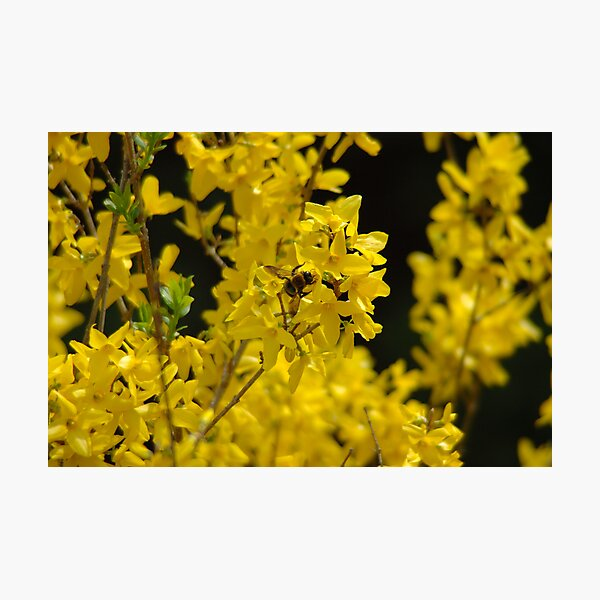 Forsythia - Pollen Time Photographic Print